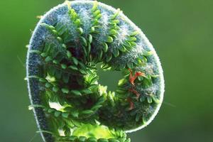 makro ormbunke grön bakgrund foto