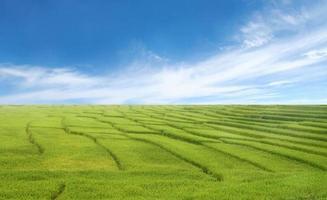 vackert risfält och blå himmel