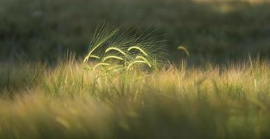 korn (hordeum vulgare) i danmark foto