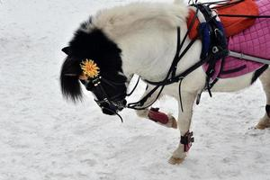 ponnys porträtt foto