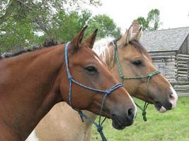 hästporträtt foto