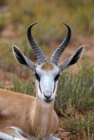 springbok porträtt foto
