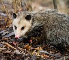 opossum porträtt foto