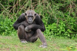 schimpans porträtt foto