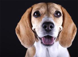 porträtt beagle foto