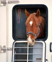 häst porträtt. foto