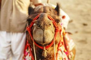 kamel porträtt