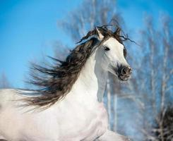 vit häst porträtt foto
