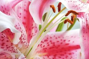 lillies på nära håll foto