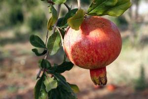 granatäpple på nära håll foto