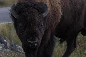 bison på nära håll foto