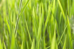 närbild gräs foto