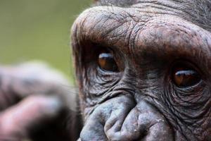 närbild schimpans foto