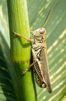 gräshoppa på nära håll foto
