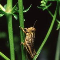 gräshoppa närbild foto