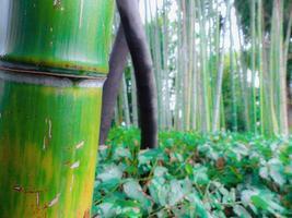 bamoo på nära håll foto