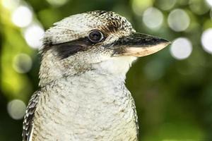 kookaburra på nära håll foto
