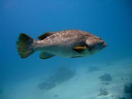 närbild grouper foto
