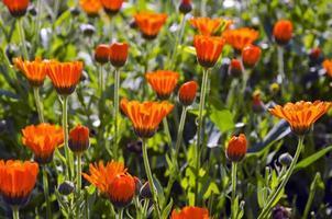 färska sommarblommig ringblomma medicinska blommor foto