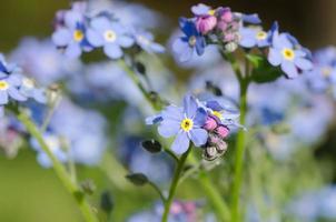 glöm mig inte blommor foto