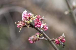 körsbärsblom foto