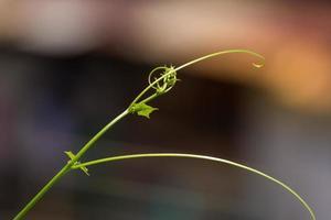 grönt blad vinodling växer foto