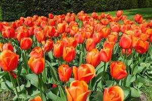 färgglada tulpanträdgård foto