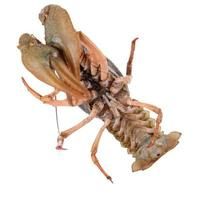 levande djur crawfishes foto