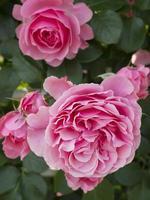 blommande rosa ros.