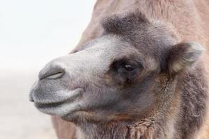 kamelprofilporträtt
