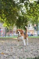 beaglehund som poserar i park på sommarvandring foto