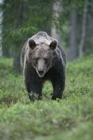 europeisk brunbjörn, ursus arctos foto