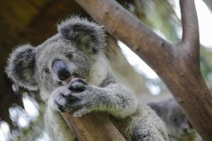 australiska koala foto