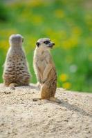 två meerkats på vakt foto