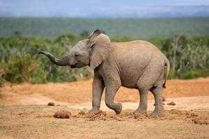 ung afrikansk elefant