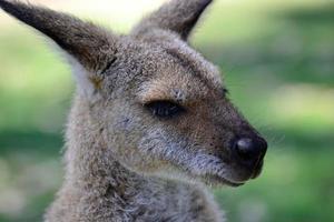 australsk känguruhuvudskott foto