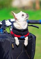 rolig hund som tycker om resa i cykelväska foto