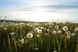 maskrosfält på sommaren foto