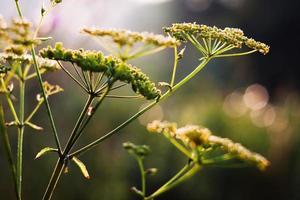 fältgräs foto