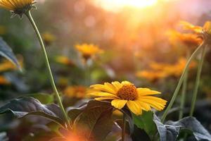 gul blomma i solljus foto