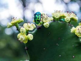 juvelbagge bugg på blommorna av sticka päron kaktus foto
