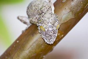 mossig blad-tailed gecko (uroplatus sikorae) kamouflerad på en tre foto