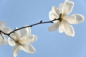 närbild av blomning magnolia foto