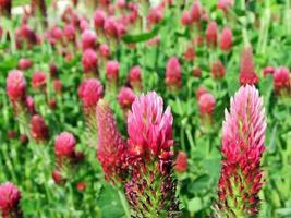 trifolium rubens rödklöver foto