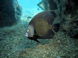 fransk ängel fisk foto