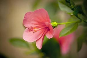 röd hibiskus
