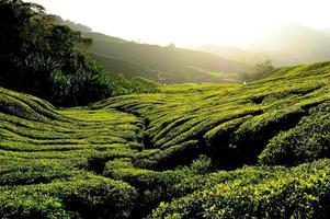 teplantagefält vid soluppgången