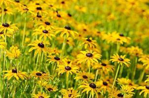 rudbekia blommor foto