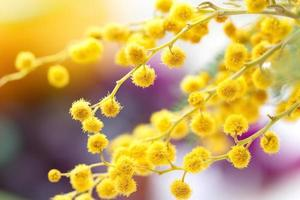 mimosa blommor foto