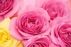 blomma med rosa rosor foto